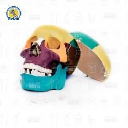 Cráneo Seccionado de Colores